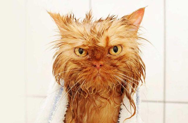 Кот после купания