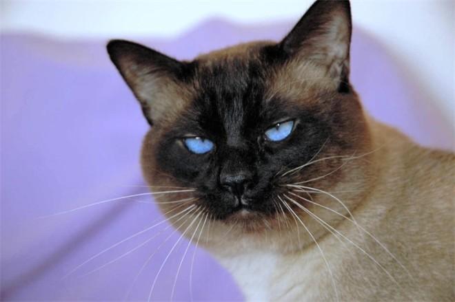 Косоглазие у кошек: причины