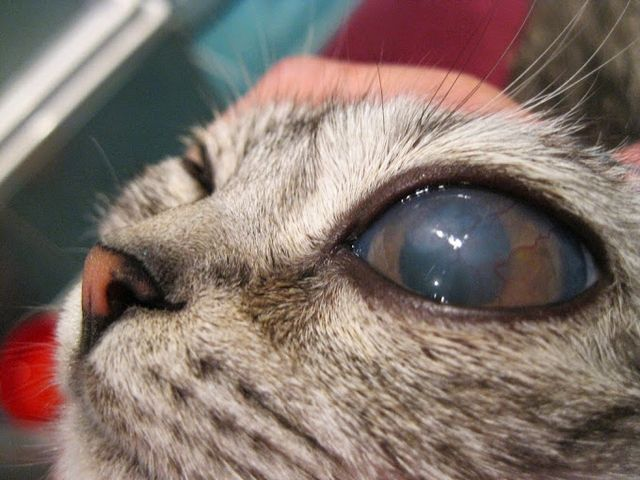 У кота покраснение глаз
