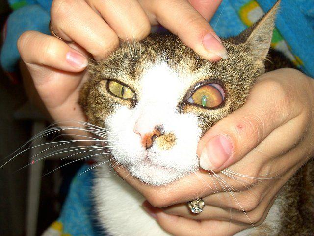 Дегенерация роговицы у кота