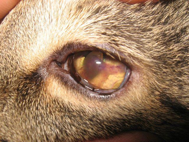 у кота помутнел глаз: кератит