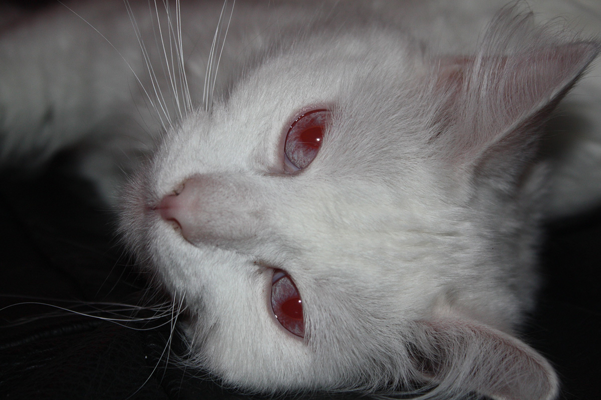 почему у кошки красные глаза