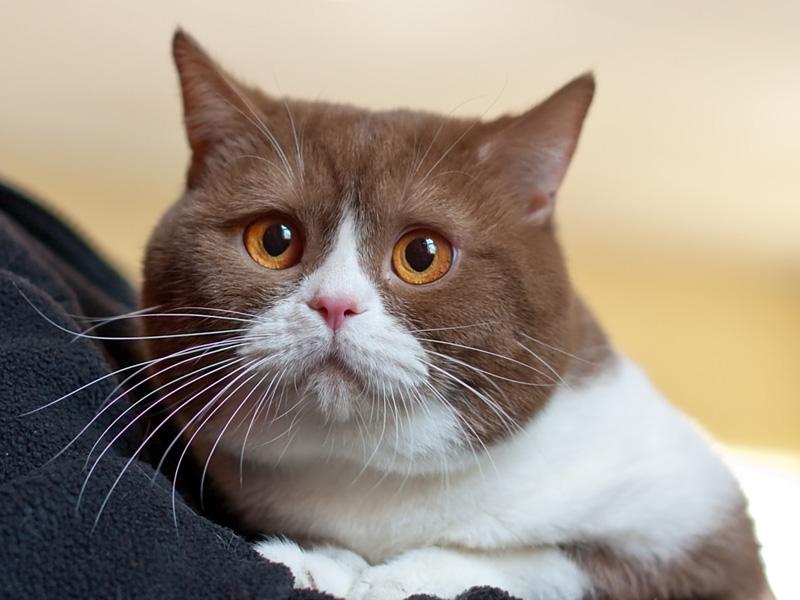 у кошки красные глаза