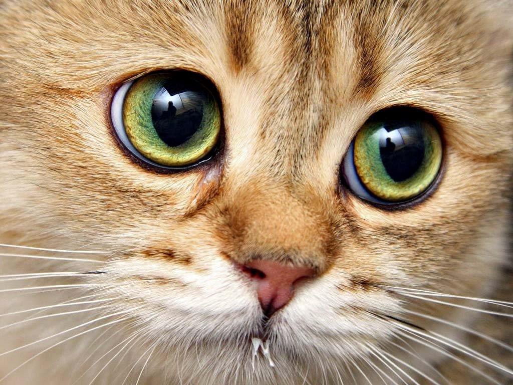 лечение красных глаз у кошек