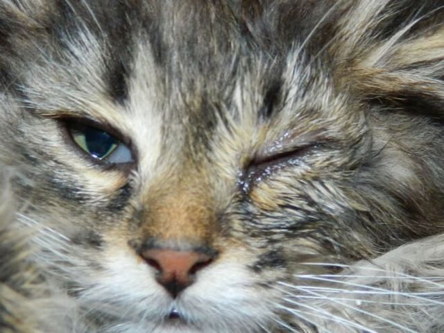 болит глаз у кота