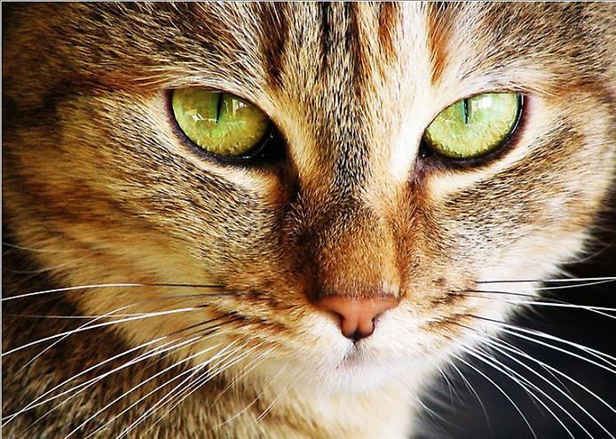 почему опух глаз у кошки