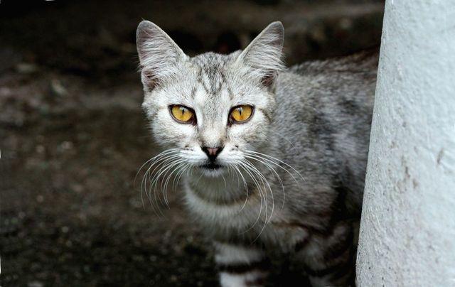 Поражение глаз гельминтами у кошек