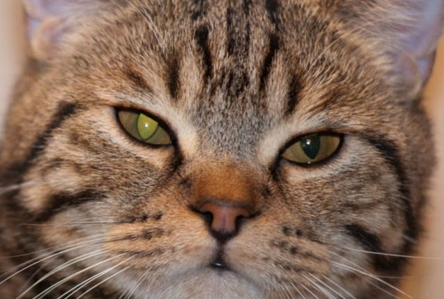 у кошки опух глаз