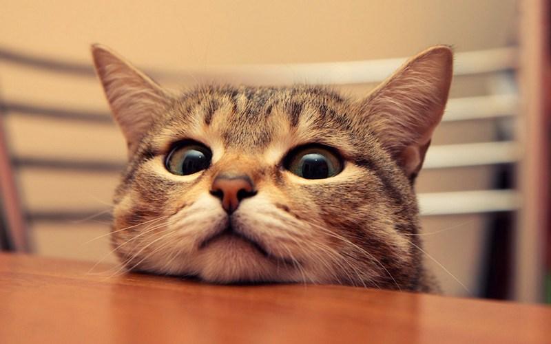 лечение ушных клещей у кошек