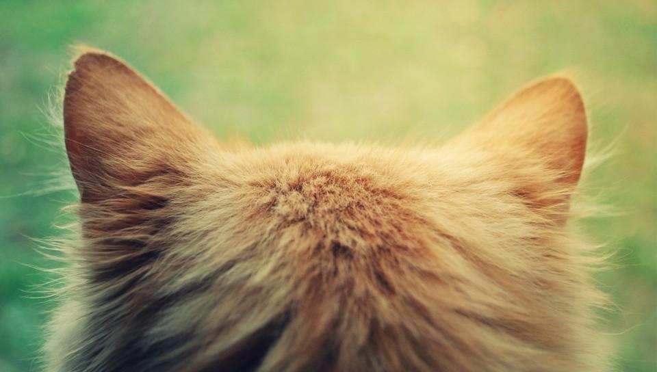 запах из ушей у кошек