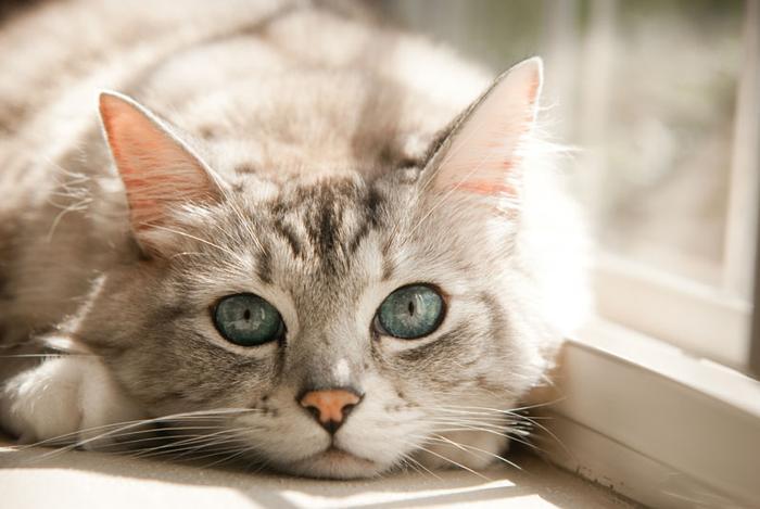 лечение плохого запаха из ушей у кошек