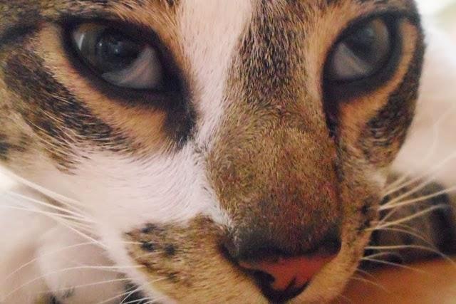 Как лечить третье веко у кошки