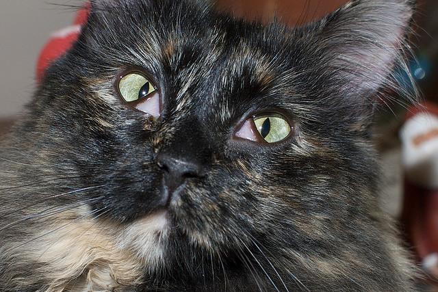 Хирургическое вмешательство если третье веко у кошки