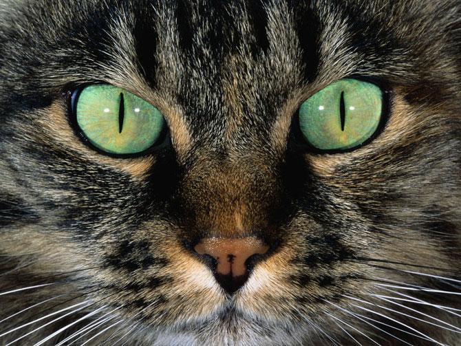 Прогнозный исход: заворот века у кошки