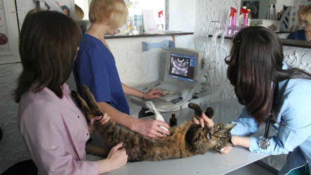 УЗИ диагностика коту