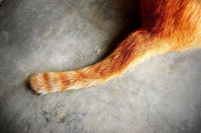 Хвост рыжого кота