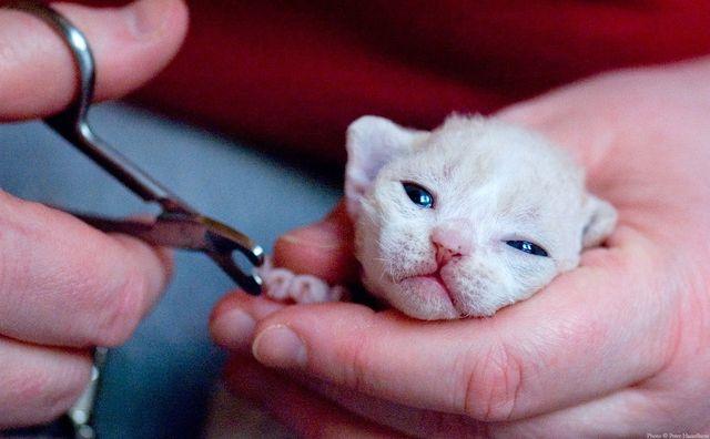 Стрижка ногтей котенку