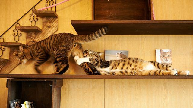 Кошки играют друг с другом