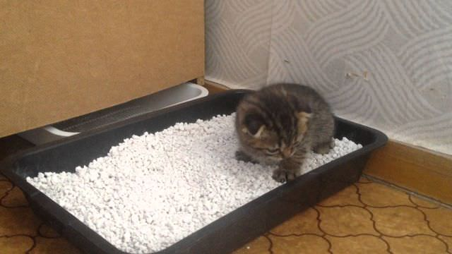 Котенок приучается к лотку