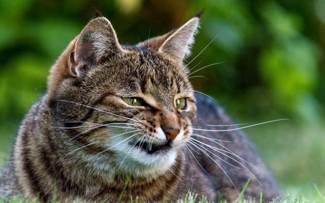 Злой кот шипит