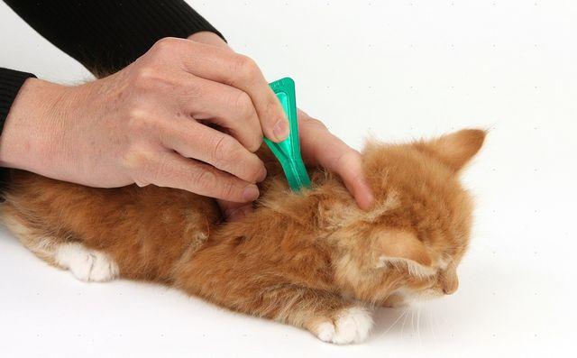 Нанесение лекарство на холку коту