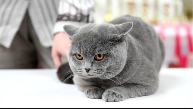 Британский кот недовольно смотрит