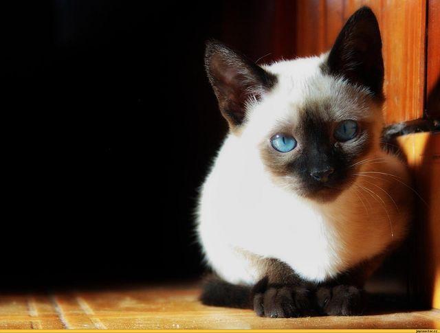 Голубоглазая сиамская кошка