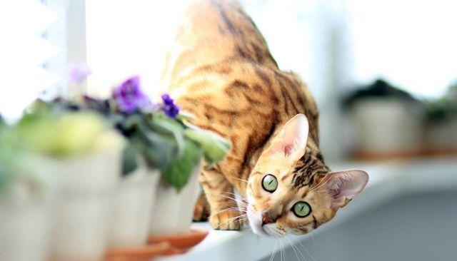Бенгальский кот выглядывает