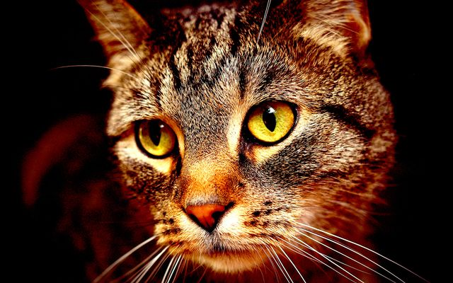 Взгляд взрослого кота
