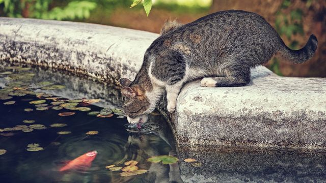 Кот пьет из бассейна