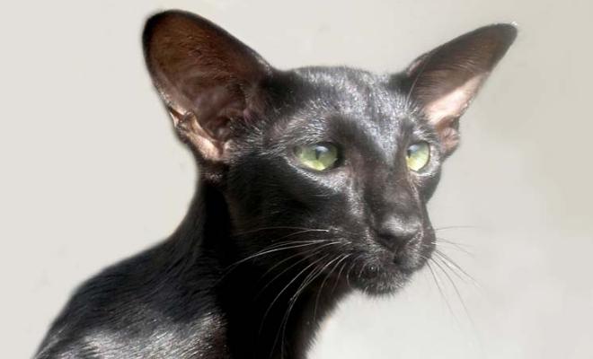 Кот из питомника Jungle