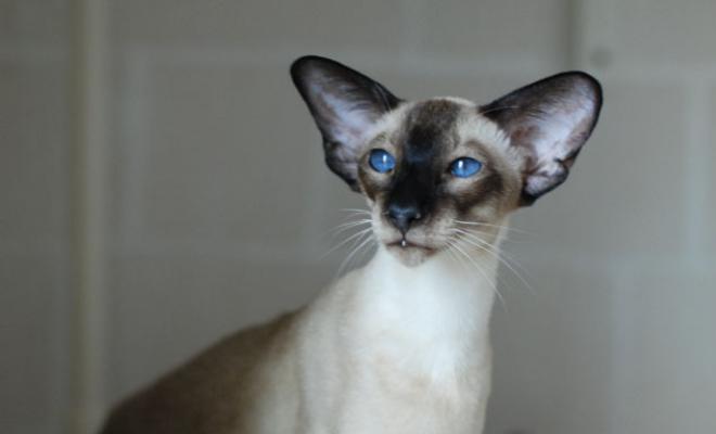 Кошка из питомника Jungle