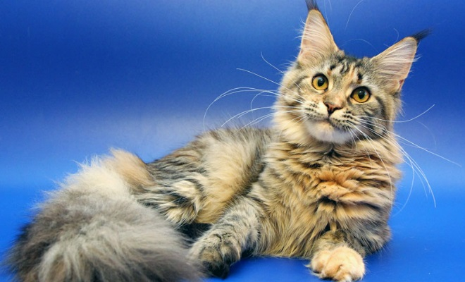Кот из питомника LICACOON