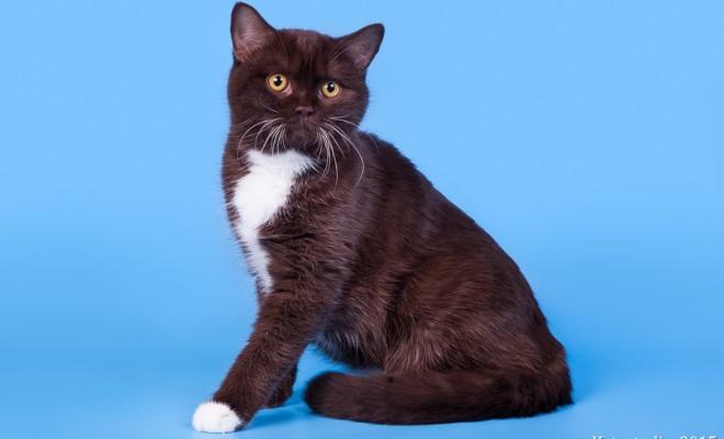 Кошка Скоттиш страйт из питомника Lucky beggar