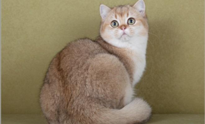 Кошка из питомника MAXEL Point