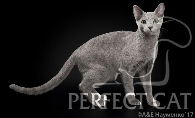 Кот из питомника Perfect Cat