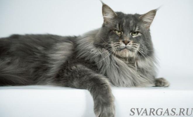 Кот из питомника Svargas