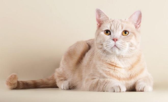 Кошка из питомника WertvollSnow
