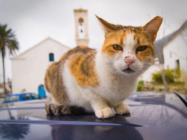 Кошка сидит на капоте
