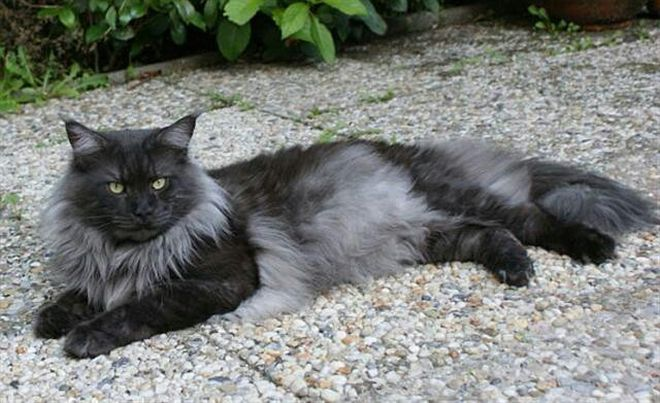 solid gray long hair cat breeds