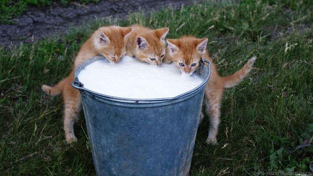 Котята пьют молоко из ведра