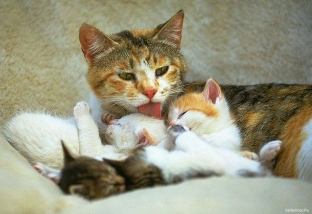 Можно ли беременной или кормящей кошке давать таблетки от глистов