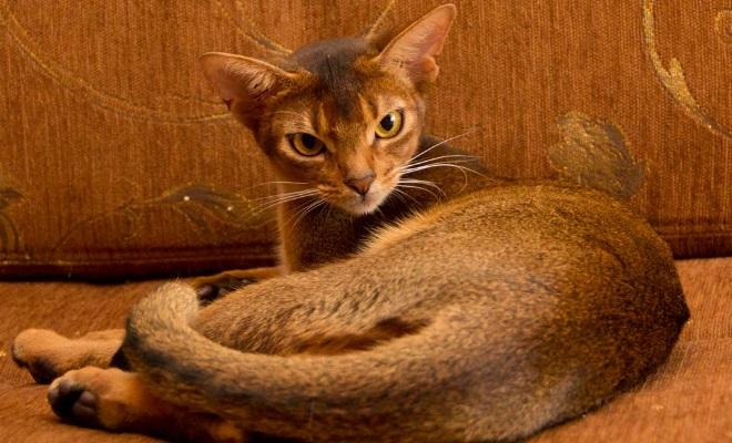 Кошка из питомника AMBERBERRY