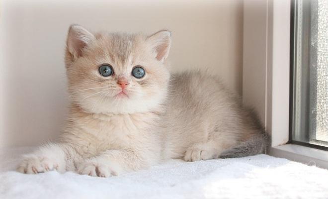 Котенок из питомника An Marion