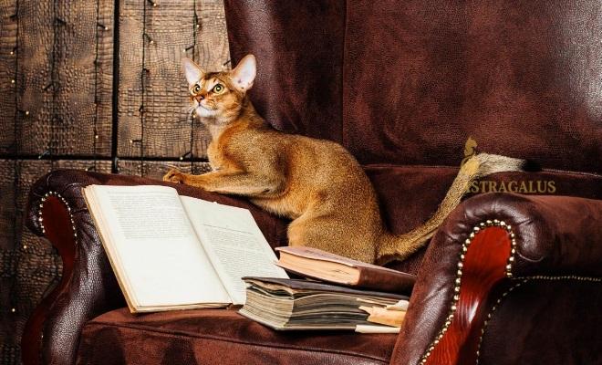 Кот из питомника Astragalus