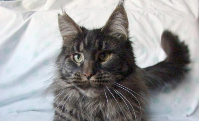 Кот из питомника AzaliaCoon