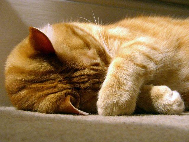 Кошка прячет нос