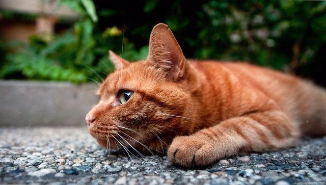 Рыжий кот грустит