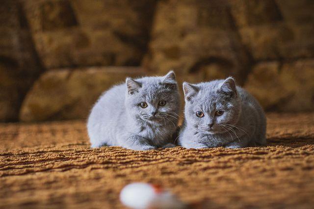 Котята наблюдают за мышкой