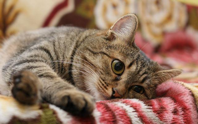 Кошка грустит на дивене